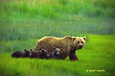 Goldilocks and the three bear cubs   Mark Lissick/Wildlight Nature Photography, Workshops, Stock Images & Fine Art Prints