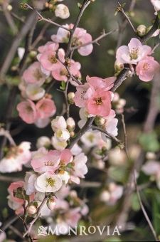 Chaenomeles: Toyo Nishiki Flowering Quince. They come in a variety of colors~ white, red, orange, pink. Part sun to sun 3+ feet tall. Have thorns! And bloom in the winter.