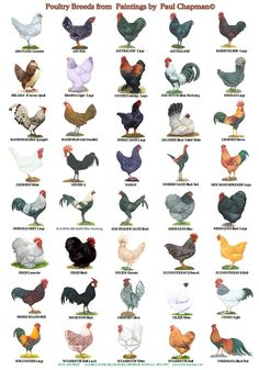 size laminated Poster of different breeds of poultry, Two different posters to choose from. Or buy both with reduced price and postage. size x 12 inches. x cm # homestead act poster Laminated Posters. Breeds of Poultry, 2 different posters Chicken Garden, Chicken Life, Backyard Chicken Coops, Diy Chicken Coop, Chickens Backyard, Chicken Types, Chicken Runs, Chicken Swing, Farm Chicken