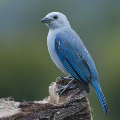 Wiki Aves de Colombia – Universidad Icesi – Cali, Colombia | Azulejo - Thraupis episcopus