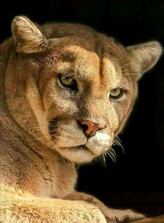Beautiful Cats, Animals Beautiful, Pumas Animal, Animals And Pets, Cute Animals, Sand Cat, Mountain Lion, Animal Facts, Pets