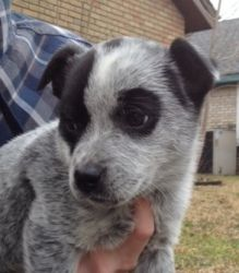Belle is an adoptable Australian Cattle Dog (Blue Heeler) Dog in Dallas, TX.  Welcome to DASH Dog Rescue! General Info - PLEASE READ! Our $350 adoption fee is based on the cost of rescuing, transporti...