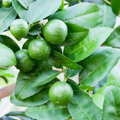 Lime, distilled (Citrus aurantifolia)