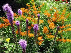 Butterfly Weed ( Asclepias tuberosa) and Liatris spicata ...orange and purple always great combo