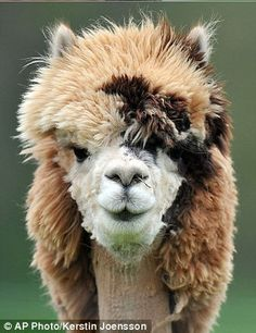 25 Hilarious Photos Of Alpacas With The Most Amazing Hair Ever. 25 Hilarious Photos Of Alpacas With Alpacas, Animals And Pets, Funny Animals, Cute Animals, Nature Animals, Wild Animals, Alpaca Shearing, Wild Life, Nature