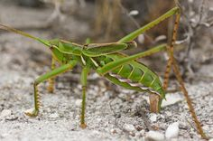 Predatory katydid (Clonia) depositing its eggs in the ground Tortoises, Flora And Fauna, Mammals, Insects, Africa, Creatures, Eggs, Turtles, Tortoise