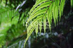 New Zealand 'Kiokio' Fern Royalty Free Stock Photo Pool Dance, Abel Tasman National Park, Kiwiana, Lush Green, Image Now, Ferns, New Zealand, Plant Leaves, National Parks
