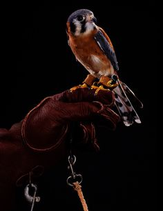 American Kestrel Moody Sanctuary Birds Vamp for, Peck at Persevering Photog | Raw File | Wired.com