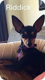Henderson, NV - Miniature Pinscher. Meet Riddick, a dog for adoption. http://www.adoptapet.com/pet/13225164-henderson-nevada-miniature-pinscher