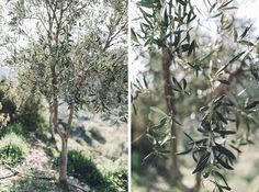 olive trees in Chania, in Crete
