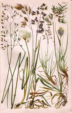 CURATED BOTANICAL 1905 Grasses