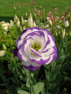 lisianto, uma das flores mais caras do mundo