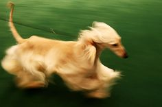 Beautiful afghan hound in motion at the Westminster Show