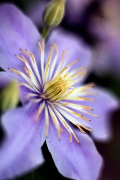 Order:	Ranunculales Family:	Ranunculaceae Subfamily:	Ranunculoideae Tribe:	Anemoneae Genus:	Clematis.  Clematis by nettisrb