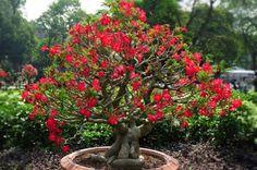 I hope my little desert Rose looks like this one day!