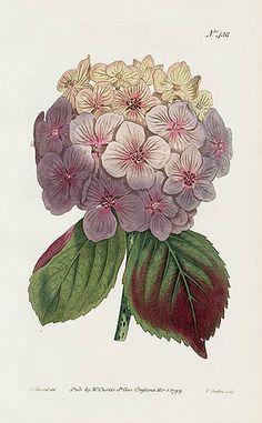 Hydrangea by William Curtis, 1799. L'hortensia fut découvert en Indonésie par le botaniste Philibert Commerson, qui cependant ne le dénomina pas ainsi lors de sa découverte.