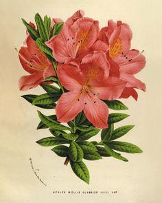 Vintage Azalea antique Botanical Art Prints
