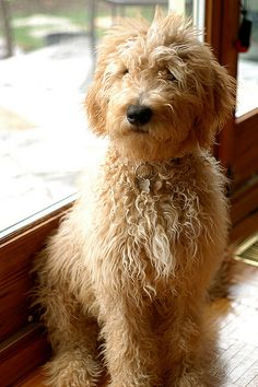 Labrador Retriever (Lab) x Standard Poodle. I love scruffy dogs. Chien Goldendoodle, Goldendoodles, Labradoodles, Standard Goldendoodle, Goldendoodle Haircuts, Goldendoodle Grooming, Animals And Pets, Baby Animals, Cute Animals