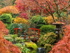 japanese maple in an asian garden with a pond and bridge - this article has great tips about growing Japanese maples in Australia.