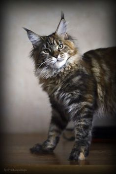 Изображение http://www.mainecoonguide.com/fun-facts-maine-coon-cats/