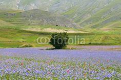 Castelluccio di Norcia (Umbria, Italy); Fiordalisi sui campi di lenticchie - Cornflowers in the fields of lentils © Pietro D'Antonio