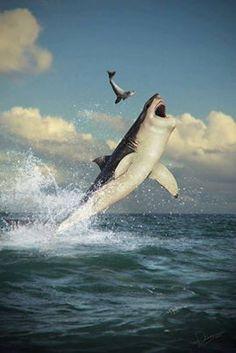 Shark - Uno de los alimentos preferidos del tiburón son las focas, por su alto contenido de grasa. Cuando un tiburón blanco ataca a un humano, suele ser por que lo confunde con una foca.
