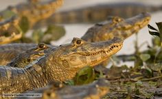 There's little doubt that the caiman has some of the most adorable young of any animal. Amphibians, Reptiles, Alligators, Lizards, Central America, Crocodile, Crocs, Number, Nature