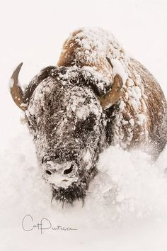 Buffalo Bison Perseverance Nature Western Wildlife Photography Winter Snow Wall Decor Wild USA Wyoming Cat Pentescu American Fine Art Photo by ImagesByCat on Etsy