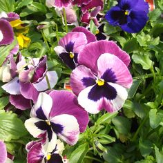 Pansy 6 Pack - Pansies provide a splash of color in the cooler months, specifically bredfor winter blooming. They are extremely tolerant of the cold and wet, and withstand chill winds well. Ideal for climates that receive little snow where the landscape remains visible throughout the winter months, winter pansies brighten dull winter landscapes. Regular dead-heading helps give their very best, so as soon as the flowers fade, nip them off.