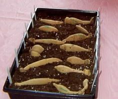 waiting for prepared Dahlia tubers to sprout, to take cuttings, excellent how to website on Dahlia propagation