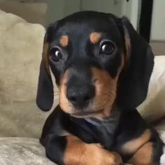 Does Your Dog Have Ringworm? Funny Dachshund, Dachshund Puppies, Weenie Dogs, Cute Baby Dogs, Cute Dogs And Puppies, Funny Puppies, Hot Dogs, Cute Little Animals, Cute Funny Animals