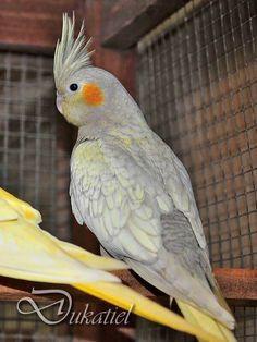 Emerald Pearl cockatiel Parakeets, Cockatiel, Parrots, Love Birds, Beautiful Birds, Nature Animals, Animals And Pets, Toucan, Bird House Kits