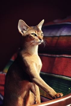 Andrew Shaw, 7 month old, Abyssinian cat