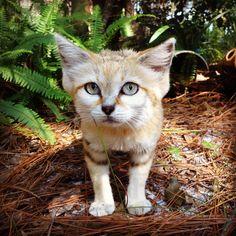 Genie, the sand cat