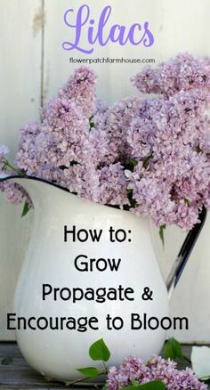 All About Lilacs: How to Grow, Propagate, and Encourage to Bloom