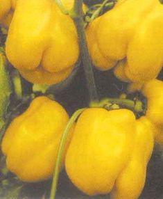 Golden Calwonder