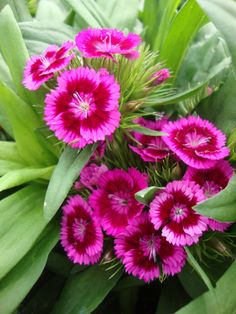 Sweet William (Dianthus barbatus) by Paul2032
