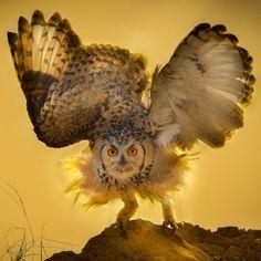 A pharaoh eagle owlspreadsits wings before take off in Saudi Arabia