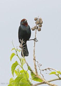 mis fotos de aves: Chrysomus ruficapillus Varillero congo Chestnut-ca...