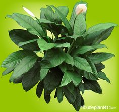 Peace Lilies with their big, glossy leaves are #houseplants that clean the air, bloom even in low lt., but are poisonous. http://www.houseplant411.com/houseplant/peace-lily-plant