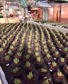 Kräuter: Thymian unter AequatorLED www.aequator.at Succulents, Plants, Horticulture, Harvest, Sustainability, Succulent Plants, Flora, Plant