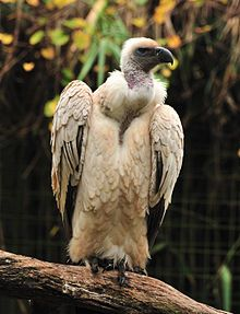 Cape Vulture - Wikipedia, the free encyclopedia