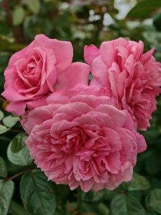 Shrub Rose: Rosa 'Zaide' (Germany, 1994)