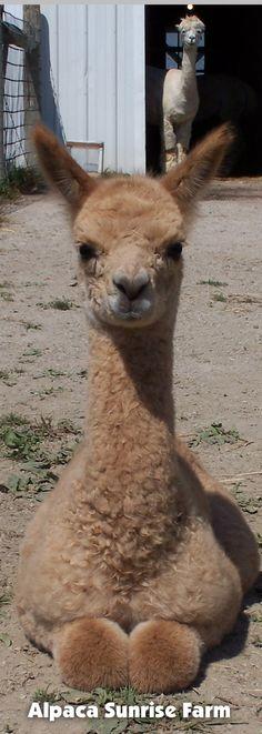HUACAYA CRIA. Alpaca Sunrise Farm is a full-service Alpaca farm since 1998 • Alpaca sales • breeding • boarding • Alpaca raw fiber, yarn, roving sales for knitters, crocheters, weavers and fiber artists. www.AlpacaSunrise... #alpaca #alpacas
