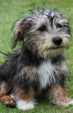 Sporting Lucas Terriers Click The Pin To Learn More About This Dog Breed! Lucas Terrier, Terrier Dogs, Terriers, Terrier Mix, Puppies And Kitties, Pet Dogs, Scruffy Dogs, Yorkshire Terrier Dog, Dog Books