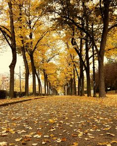Parco del Valentino, Turin 2016 by Kristi Buzo..... #park #landscape #nature #sun #tree #road #fall #gold #leaf #season #walk #wood #alley #footpath