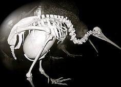 Kiwi birds lay the largest egg in proportion to its body. The egg is equivalent to 15-25% of the bird's body mass. To compare, ostrich's egg is equivalent to 2% of the mother's body mass, while a newborn human accounts only for 5% of the mother's body mass.