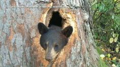 Wisconsin Bear Cubs Get Stuck in Tree - ABC News