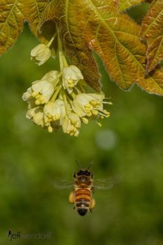 A bee on the spring flower biene pinterest spring flowers and bees google mightylinksfo