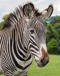 Join us on Safari as we open every weekend at 10am     #WMSP #Safari #Zebra #Bewdley #DaysOut #Worcestershire #Animals #Wildlife #Nature